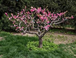 Baum, Zierkirsche, Peking, China